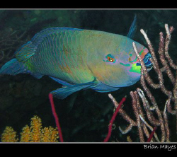 Just a quick snap of a Rusty Parrotfish, but I like the c... by Brian Mayes 